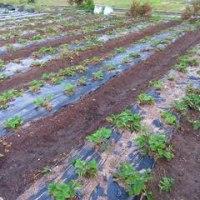 悩む・・サツマイモの収穫タイミング