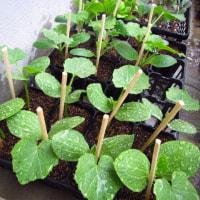 キュウリ、バナナまくわうりのポット上げ&植え付けを待つ苗たち