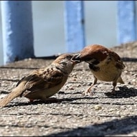 スズメ 雛に餌やり。