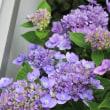 紫陽花の季節だ