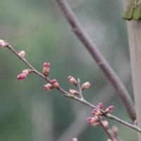於大公園の花 : 寒緋桜膨らむ ・・・ 午前は晴れていましたが、天気予報は午後は雨になっていました。