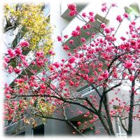 さくら さくら 弥生(やよい)の空は…(^^♪オオシマザクラとの自然雑種、河津桜が有名になった「カンヒザクラ(寒緋桜)