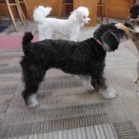 U^ェ^U犬のしつけ 犬の幼稚園 Buddy Dogのようす 2014/02/25U^ェ^U