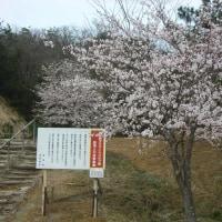 桜一気に咲く