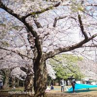 写真家 星野道夫の「旅をする木」