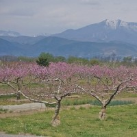 高山村・水中のしだれ桜