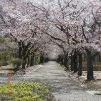 大分県日田市で  桜・堪能