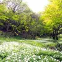 みかも山公園・ニリンソウ☆栃木市・栃木県から