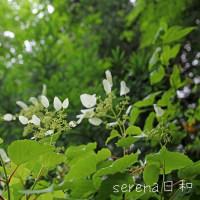 黒猫の庭~カシワバアジサイ~