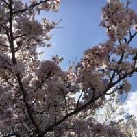 2017、桜・・・