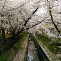 休日に桜を見に行ってきました!!