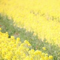 ある日の菜の花畑*