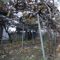 果実より落ち葉の方が多いキウイ棚