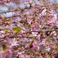 桜にメジロ9・・・【いな】
