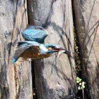 今日の鳥 カワセミ 巣作り途中のカワセミ