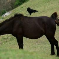 都井岬・ミサキウマ(御崎馬)/宮崎  Misaki horse in Miyazaki Japan 番外編