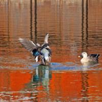 10月20日 真紅の水辺に「カモの舞」