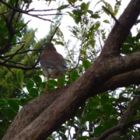 小幡緑地の探鳥会(3)