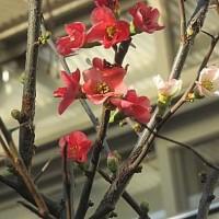 木瓜(ぼけ)という花