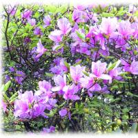 「春惜しむ」を実感させる花(^^♪淡い紫色の花を咲かせている「ミツバツツジ」or「コバノミツバツツジ」