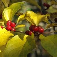 アオハダ 黄葉と赤い実