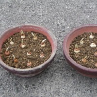 クロッカスの植え付け