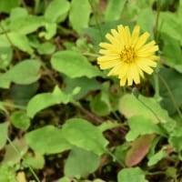 林縁のオオジシバリの花