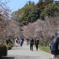 ぶらり旅・水戸の梅まつり①梅の花が・・・(H29.3.25)