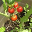 ダイエットと美肌のリコピン ミニトマトが育ちました