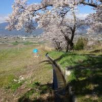 【池田町】 鵜山の桜並木