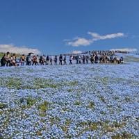 ひたち海浜公園 ネモフィラ ブルーの世界
