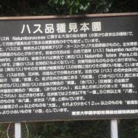 10月22日 活動報告2 秋の「ハス品種見本園」