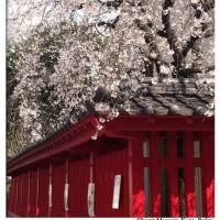 警固神社の桜 満開