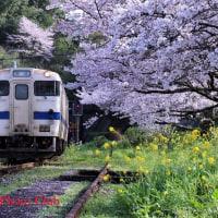 桜の花 (投稿)