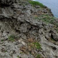 沖永良部島の植物:リュウキュウタイゲキ