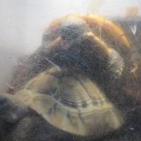 襲いかかるヒガシヘルマンリクガメのメス