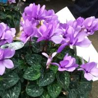 紫のシクラメン(ライラックフリル)