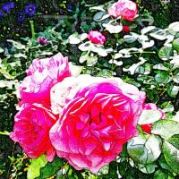 薔薇の花星座 小松島市
