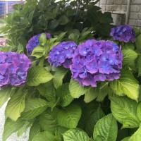 今日の紫陽花