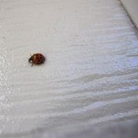 てんとう虫のサンバ