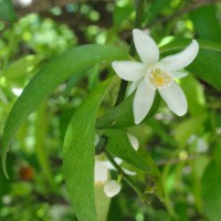 五月の花橘