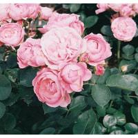 バラが満開の季節