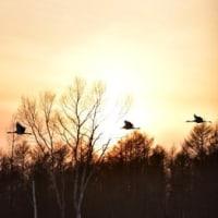夕陽の中を塒へ飛翔・・。