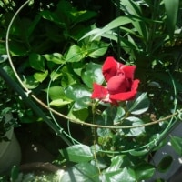 バラが咲いた