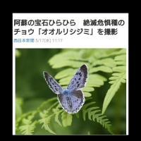 熊本弁日記(^_^)~オオルリシジミ
