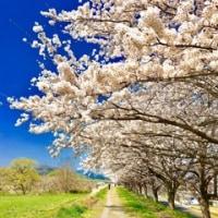 最終打ち合わせ&見頃の桜🌸