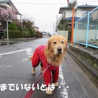 春雨で 出会う人無き 朝散歩 !