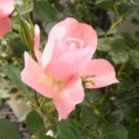 リンゴの花とピンクのバラ