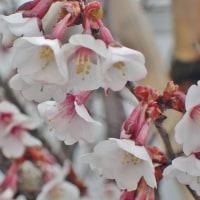 寒そうな早咲のサクラ、ホタルイカの旬
