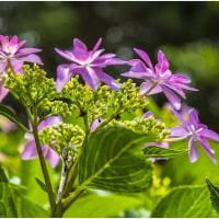 今頃は紫陽花が見どころ・そのⅡ